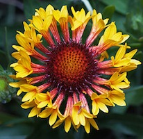 Gaillardia/Blanket Flower