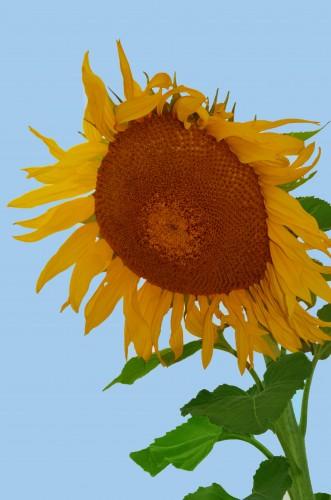 Rigby Sunflower