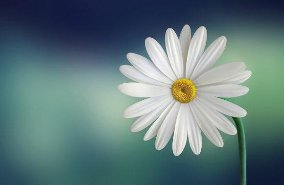 Bess Hamiti daisy closeup
