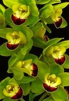 Cymbidum Orchid