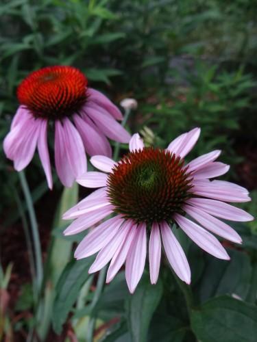 More Flowering Herbs for an Herb Garden