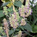 Patchouli in bloom. The plant is good for your body and mind