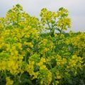 Barbarea vulgaris, commonly known as yellow rocketcress
