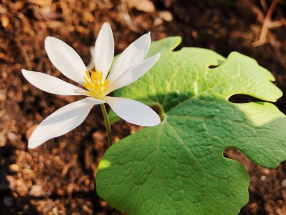 Bloodroot plant medicinal uses