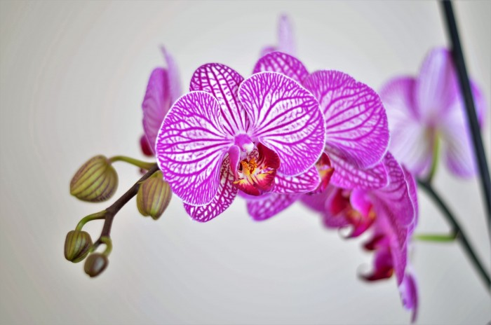Graceful Orchids are Perfect for Gift-Giving