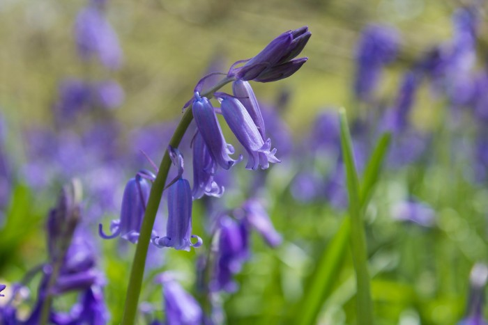 Royal, mysterious and medicinal: Bluebells surprising facts