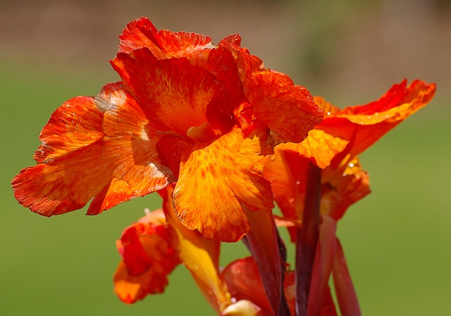 Grow Your Cannas and Eat Them Too