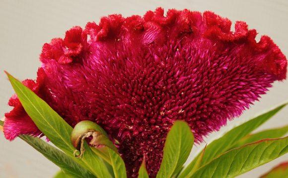 Cock's comb flower