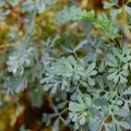 Rue is the forgotten cooking herb of Roman times