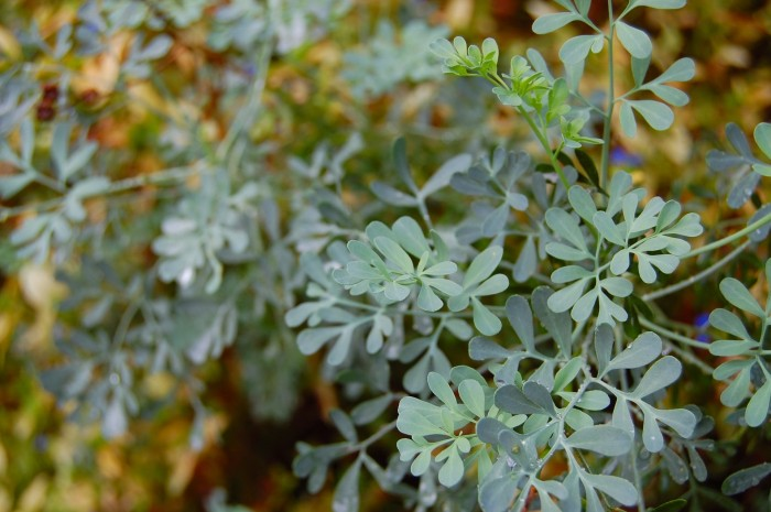 Rue: The forgotten Roman cooking herb