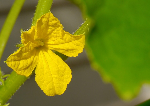 Cucumber Flowers: Fry or Use Them for Garnishing