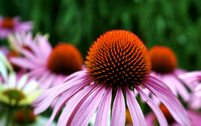 Health benefits of echinacea flowers