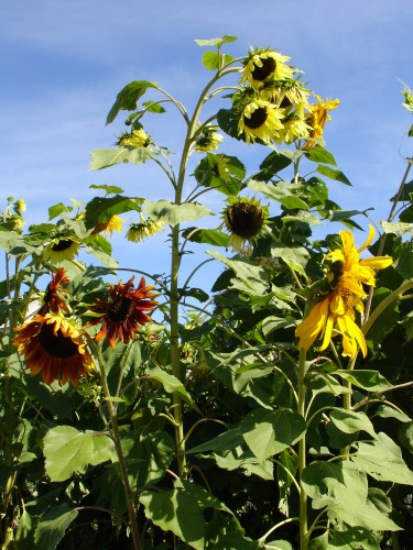 Do You Know About These 3 Unique Sunflower Colors?