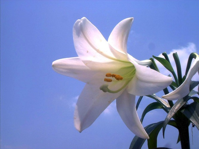 About the Easter Lily