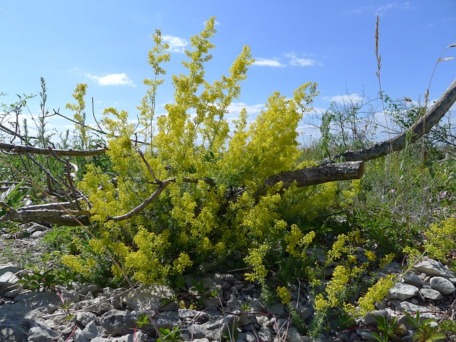 Lady's bedstraw: Beddings and medicine in one package