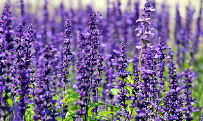 Health benefits of lavender flowers