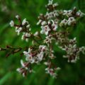 Lemon verbena medicinal uses. The plant's aerial parts have lemon-scented fragrance known to be medicinal