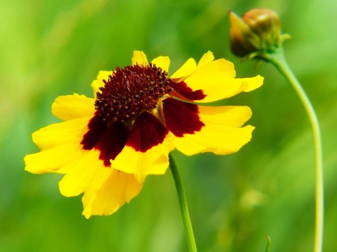 Plains coreopsis flower tea for regulating insulin