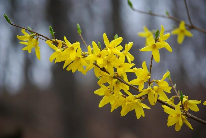 Forsythia are Beacons of Springtime