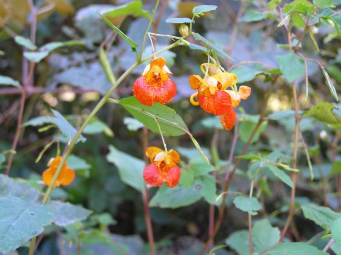 """Exploding"" Jewelweed is Popping with Fun"