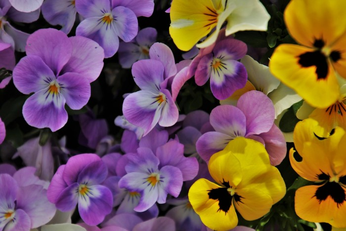 Pansy Flower Health Benefits