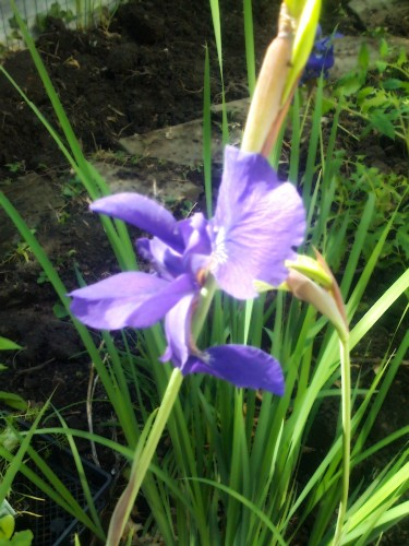 A Gift of Irises Sends a Regal Message