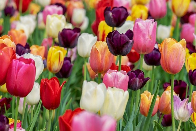 Meet the versatile tulip flower with culinary and medicinal uses