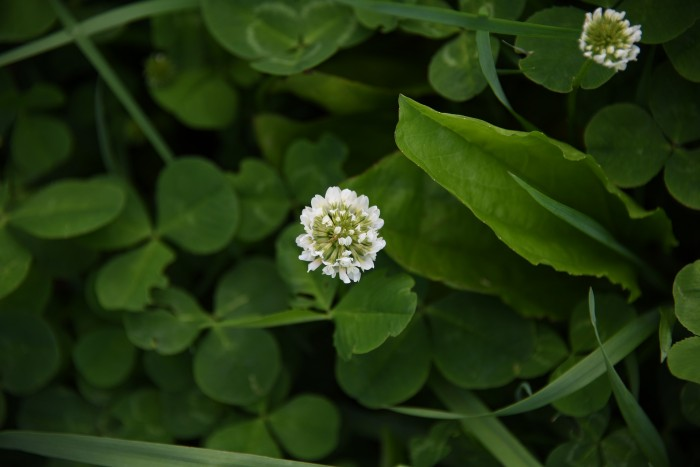 White clover: Herb flowers for comfort and healing