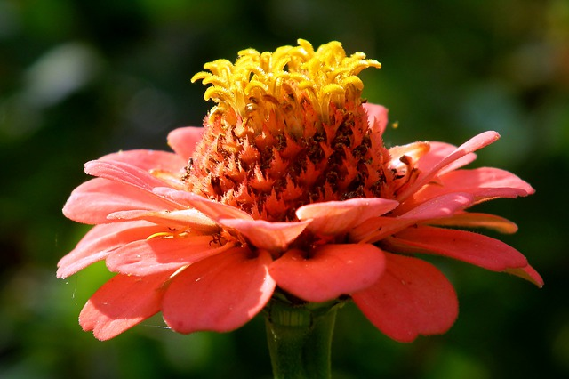 Zinnia flower: The sacred plant for life and wisdom